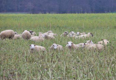 Gerissenes Schaf zwischen Ilse und Rosenhagen gefunden
