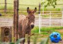 """""""Wie pilgern, nur mit Esel"""" – Zu Besuch bei der Eselei Woltringhausen"""